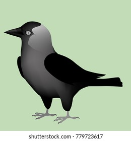 An illustration of a Western Jackdaw