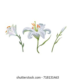 illustration with white lily flowers in different stages isolated on white background