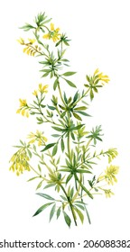 Illustration of wild flower on white background, vector