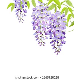 Illustration of wisteria blooms in spring.