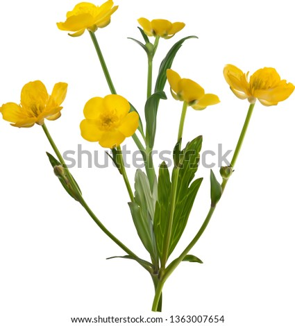 43439fa307fb1 illustration with yellow buttercup flowers isolated on white background -  Vector