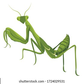 Illustrations of praying mantis. Large predatory insect with feathers to capture food. Big beetle predator. Color illustration of a cartoon mantis.
