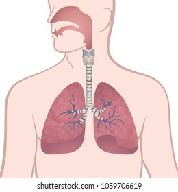 image of the anatomy of the lungs, the location of the internal organs of respiration in the human body