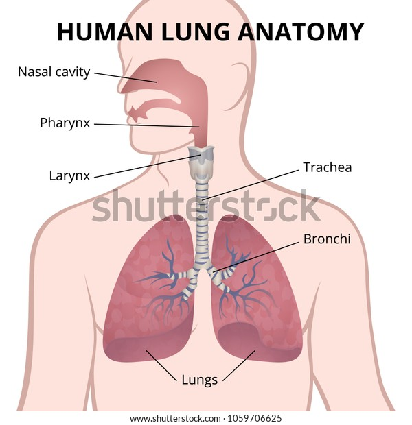 location of lungs in human body