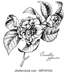 Image of branch with flowers camellia. Vector illustration.
