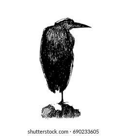 Image of a heron looking on the right. Vector illustration. Pen and ink original trace.