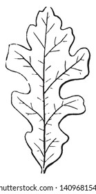 A image of Lobed Leaf. The lobes are blunt rounded. The leaf-margin is serrated, vintage line drawing or engraving illustration.