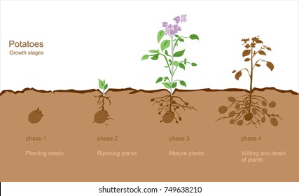 Image of potato growth stages from seed to finished crop. Vector Image. All elements on layers. It can be used in any advertising.