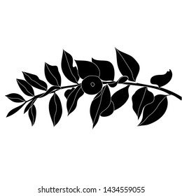 An image of Ruscus Aculeatus plant.Butcher's broom (Ruscus aculeatus), or Knee Holly, Christmas Berry - evergreen plant. Hand drawn botanical vector illustration