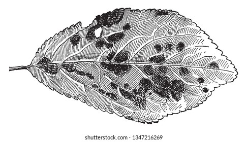 An image of Shot-hole fungus. These shot hole funguses are also called as coryneum blight. This image shows the work of shot hole fungus of pulm, vintage line drawing or engraving illustration.