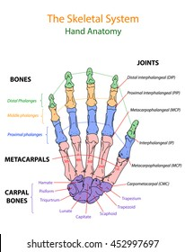 Image show overview human hand anatomy. The Skeletal system.