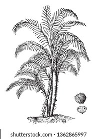 An image showing the Slender palm, found mainly in rivers and swamps in America in the tropics, vintage line drawing or engraving illustration.