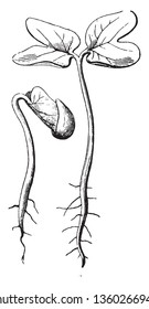 The image shows a newly germinated seed, its leaves, stem and the roots, vintage line drawing or engraving illustration.
