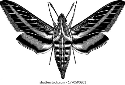 it is an image of white lined morning sphinx, shows a large mouth with white and black stripes, it shows displays the whole moth whereas the left wings are omitted as in original illustration,
