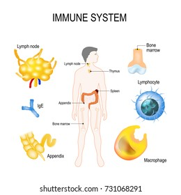 immune system: bone, IgE, lymph node, thymus, lymphocyte and  macrophage, appendix, spleen. Vector illustration for your design and medical use. human anatomy. silhouette of a man on white background.