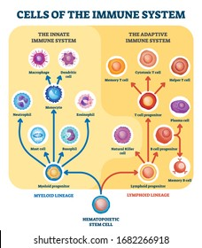 Immune system cells vector illustration. Labeled educational division scheme. Anatomical explanation diagram with lymphoid, cells or myeloid progenitor. Innate and adaptive medical structure graphic.