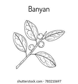 Indian banyan (Ficus benghalensis), medicinal plant. Hand drawn botanical vector illustration