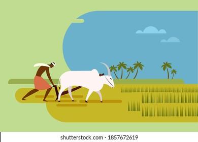 Indian farmer plows a paddy field using bullocks