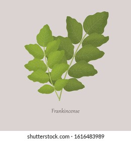 Indian Frankincense Salai or Boswellia serrata branches with green leaves. A plant for making fragrant resin. Ligneous plant on a gray background and logo.