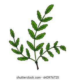 Indian Frankincense Salai or Boswellia serrata vintage illustration.Olibanum-tree (Boswellia sacra), aromatic tree. Ink hand drawn herbal illustration