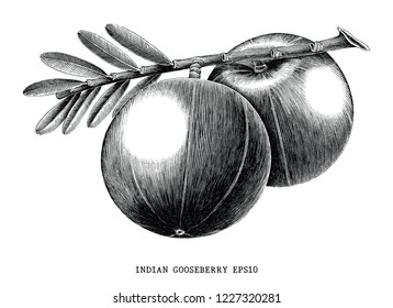 Indian gooseberry fruit vintage engraving illustration isolated on white background