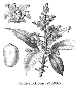 Indian mango (Mangifera indica) / vintage illustration from Meyers Konversations-Lexikon 1897