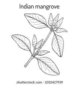 Indian mangrove (Avicennia officinalis), medicinal plant. Hand drawn botanical vector illustration