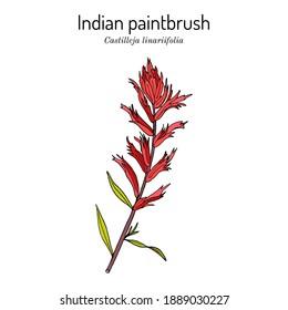 Indian Paintbrush (Castilleja linariaefolia), Official State Flower of Wyoming. Botanical hand drawn vector illustration
