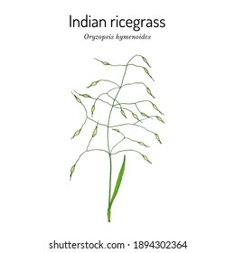 Indian ricegrass or sand rice grass (Oryzopsis hymenoides), Official State Grass of Nevada. Vector hand drawn illustration