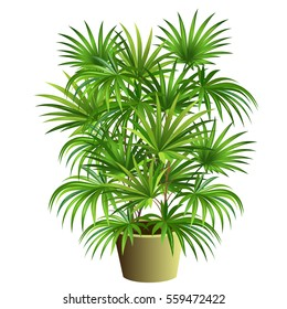 Indoor palm tree (Rhapis excelsa) in pot. Hand drawn vector illustration on white background.