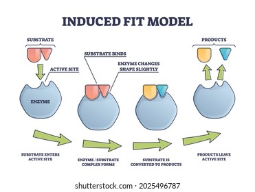 Induced fit model process explanation with enzyme active site and products outline diagram. Labeled educational substrate binding steps scheme with complex forms and conversion in scientific graph.