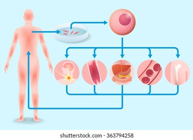 induced pluripotent stem cell (iPS cell) and regenerative medicine, vector illustration