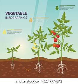 Infographic for edible tomato with roots or information poster with fruit, berry plant growth stages, greenhouse or hothouse vegetable food on soil. Vegetarian nutrition and agriculture theme