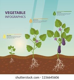 Infographic with eggplant growth rates. Brinjal growing process. Aubergine with root and fetus, flowers information poster. Agriculture and organic food, nutrition and agriculture, harvest theme