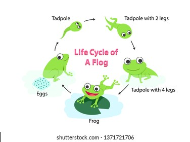 Infographic Life cycle of a frog in flat, vector
