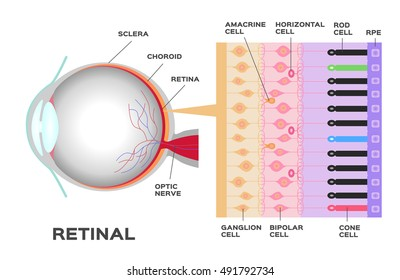 infographic: Photoreceptor in the retina of the eye. Structure and function rod and cone cells. Vector scheme . anatomy