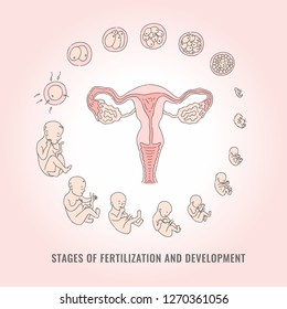 Infographic of pregnancy stages with process of fertilization and development of embryo in line hand drawn style - isolated vector illustration of mitosis and fetal growth cycle.
