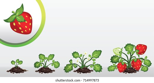 Infographic tree planting. Seedling plant. Seeds grow on the ground. Sprout, plant, tree grow strawberry farm icon
