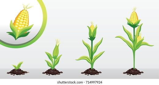 Corn Growing Images, Stock Photos & Vectors | Shutterstock