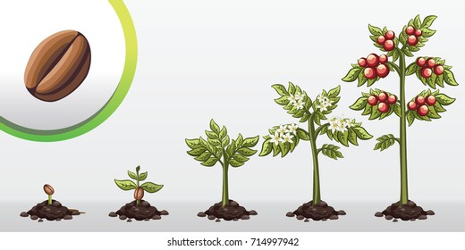Infographic tree planting. Seedling plant. Seeds grow on the ground. Sprout, plant, tree grow coffe bean farm icon