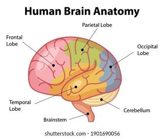 Information poster of human brain diagram illustration