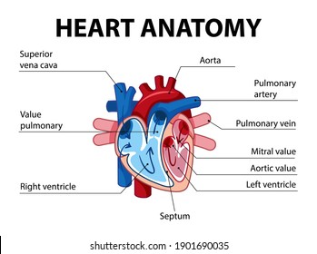 Information poster of human heart diagram illustration