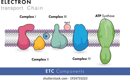 Inhibitors of electron transport chain and oxidative phosphorylation and chemiosmosis in eukaryotic mitochondria vector illustration