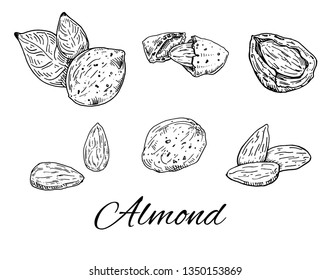 Ink Almond hand drawn set. Vintage sketch of nuts and kernels. Almonds line art. Vector Illustration isolated on white background