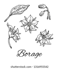 Ink Borage (Borago officinalis), or starflower hand drawn botanical sketch. Medical herb and spice, flower with leaves and buds set. Vintage line art. Vector illustration isolated on white.