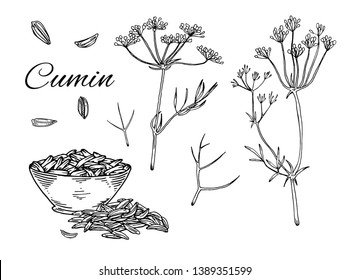 Ink Cumin hand drawn set. Retro botanical line art. Medical herb and spice. Vintage raw Caraway with flowers, seeds and leaves. Herbal vector illustration isolated on white background
