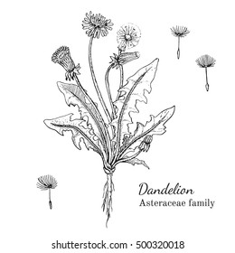 Ink dandelion herbal illustration. Hand drawn botanical sketch style. Absolutely vector. Good for using in packaging - tea, condinent, oil etc - and other applications