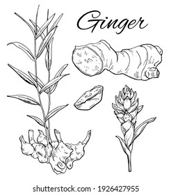 Ink Ginger hand drawn set. Flower with root. Ginger root, flower and sliced pieces. Vintage botanical art. Retro culinary sketch. Herbal vector illustration isolated on white background