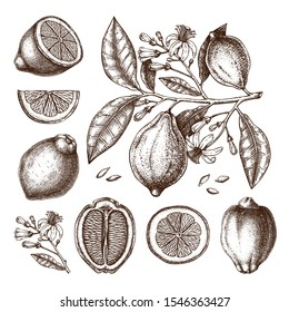Ink hand drawn citrus fruits collection. Lemon branch drawings. Vector sketch of highly detailed lemons tree with leaves, fruits and flowers sketches. Botanical design elements set.