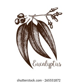 Ink hand drawn Eucalyptus plant.  Tropical flower isolated on white. Exotic vintage plant illustration